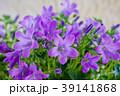 花壇に咲く ベルフラワー 39141868