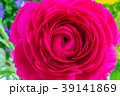 花壇に咲く ラナンキュラス 39141869
