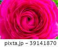 花壇に咲く ラナンキュラス 39141870
