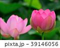 蓮 大賀蓮 花の写真 39146056