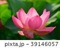 蓮 39146057
