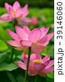 蓮 大賀蓮 花の写真 39146060