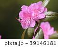 つつじ 花 満開の写真 39146181