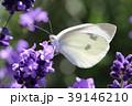 ラベンダーと蝶 39146210