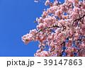 大寒桜(オオカンザクラ)と青空 39147863