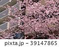 大寒桜(オオカンザクラ)とマンション 39147865