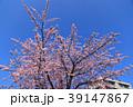 大寒桜(オオカンザクラ)とマンション 39147867
