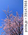 大寒桜(オオカンザクラ)と青空 39147868