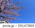 大寒桜(オオカンザクラ)とマンション 39147869