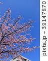 大寒桜(オオカンザクラ)とマンション 39147870