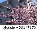 大寒桜(オオカンザクラ)とマンション 39147873