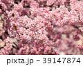 大寒桜(オオカンザクラ) 39147874