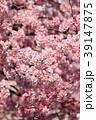 大寒桜(オオカンザクラ) 39147875