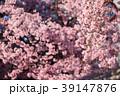 大寒桜(オオカンザクラ) 39147876