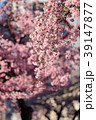 大寒桜(オオカンザクラ) 39147877