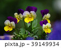 パンジー ビオラ 花の写真 39149934