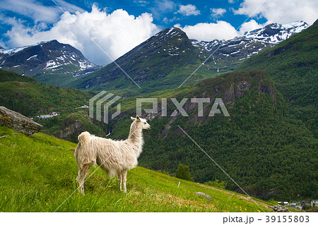 llamas in the mountains の写真素材 39155803 pixta