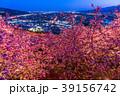 河津桜 春 夜桜の写真 39156742