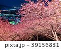 河津桜 春 夜桜の写真 39156831