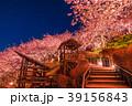 ライトアップ 河津桜 春の写真 39156843