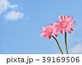 ガーベラ 花 ピンクの写真 39169506