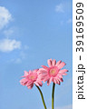 ガーベラ 花 ピンクの写真 39169509