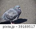 ドバト ハト 鳥の写真 39169517