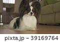 ぱぴよん パピヨン 動物の写真 39169764