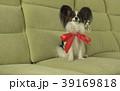 ぱぴよん パピヨン 動物の写真 39169818