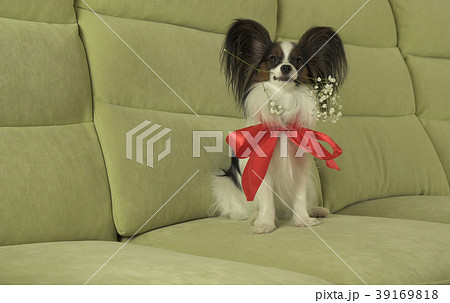 Dog Papillon keeps red rose in his mouth in love 39169818