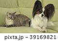 ぱぴよん パピヨン 動物の写真 39169821