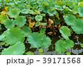 植物 葉っぱ 葉の写真 39171568