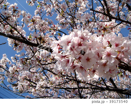 花見・春桜(香川県高松市郷東町・香東川河川敷) 39173540