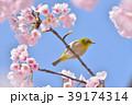 メジロと桜 39174314