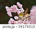 メジロと桜 39174315