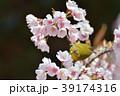 メジロと桜 39174316