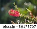 咲く 花 開花の写真 39175707