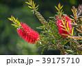 咲く 花 開花の写真 39175710