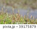 琵琶湖のツクシ 39175879