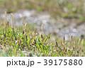 琵琶湖のツクシ 39175880