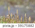 琵琶湖のツクシ 39175882