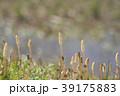 琵琶湖のツクシ 39175883