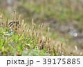 琵琶湖のツクシ 39175885