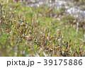 琵琶湖のツクシ 39175886