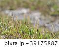 琵琶湖のツクシ 39175887