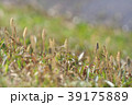 琵琶湖のツクシ 39175889