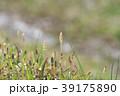 琵琶湖のツクシ 39175890