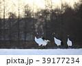 丹頂 鶴 鳥の写真 39177234