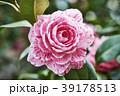 椿 花 ピンクの写真 39178513