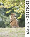 新緑背景のかわいい柴犬 39179143